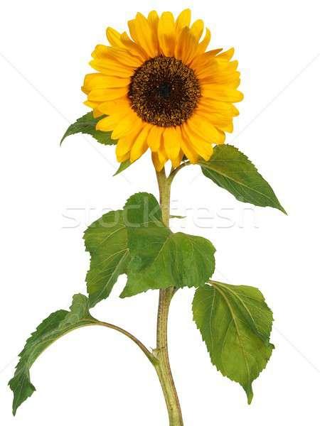 Słonecznika biały trzon odizolowany Zdjęcia stock © ajt