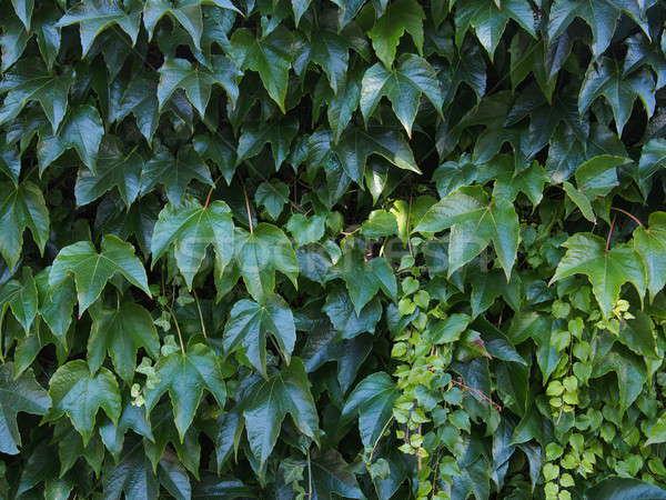 Klimop achtergrond vorm groene bladeren textuur Stockfoto © ajt