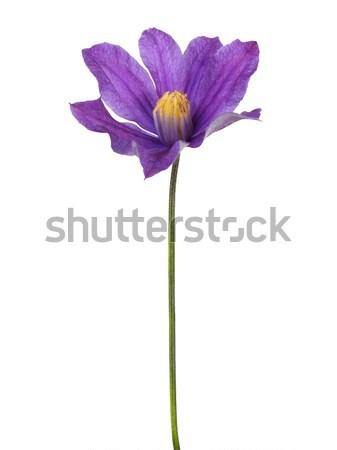 花 白 孤立した 春 工場 ストックフォト © ajt