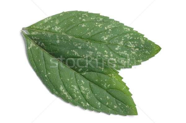 Stock fotó: Borsmenta · izolált · levelek · háttér · növény · fehér