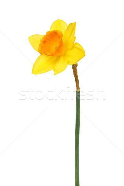 スイセン 白 1 黄色 孤立した 花 ストックフォト © ajt