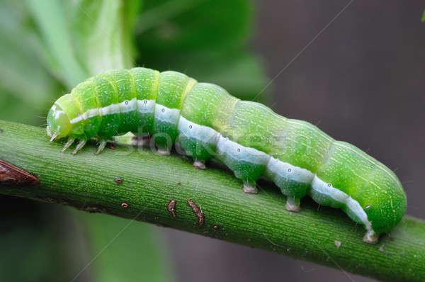 Groene rups macro tak vlinder Stockfoto © ajt