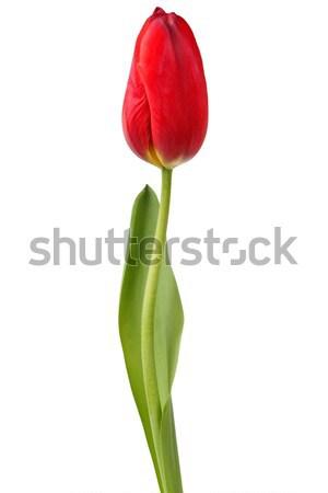 赤 チューリップ 白 孤立した ストックフォト © ajt