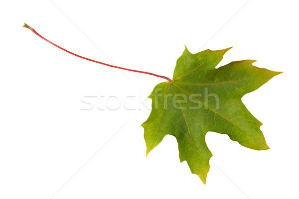 Zielony liść biały zielone liścia odizolowany liści Zdjęcia stock © ajt