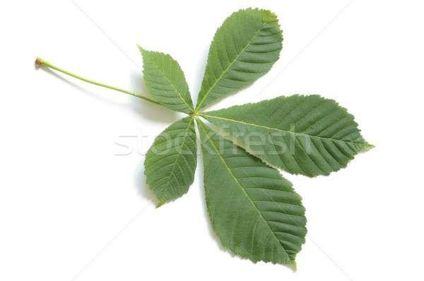 Leaf Stock photo © ajt