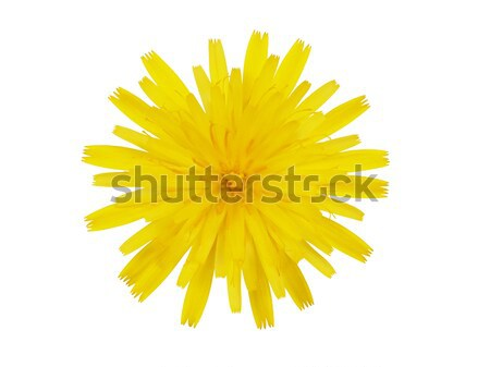 Yellow flower on white Stock photo © ajt
