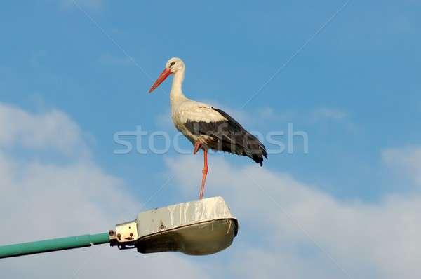 White Stork Stock photo © ajt