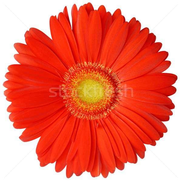 Virág izolált virágok természet közelkép részlet Stock fotó © ajt