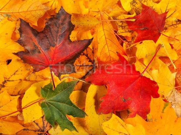 紅葉 セット メイプル 葉 秋 することができます ストックフォト © ajt