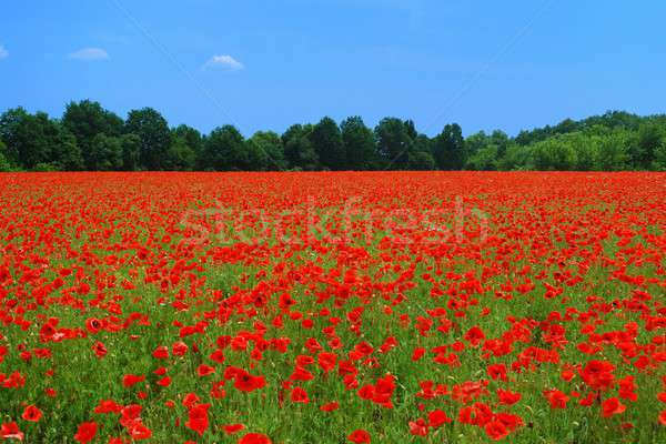 Campo vermelho blue sky céu paisagem Foto stock © ajt