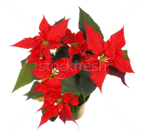 Poinsettia Stock photo © ajt