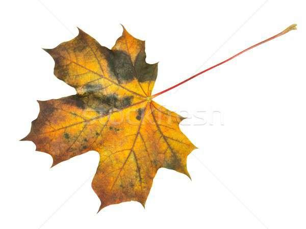 Autumn leaf on white Stock photo © ajt