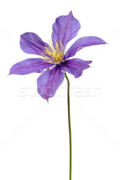 Flor branco isolado Foto stock © ajt
