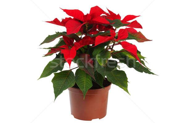 Christmas Star Flower, Poinsettia Stock photo © ajt