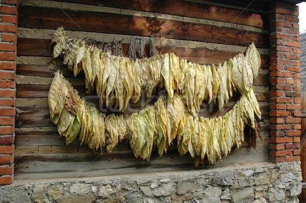 табак листьев растений сигарету Сток-фото © ajt