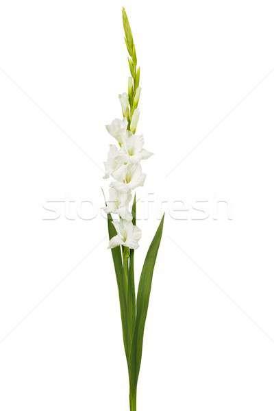 White gladiolus flower stock photo andrzej tokarski ajt add to lightbox download comp mightylinksfo