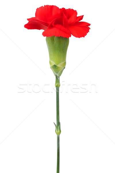 гвоздика цветок белый изолированный Сток-фото © ajt