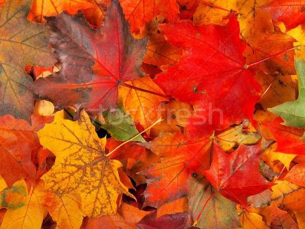 őszi levelek szett juhar levelek ősz konzerv Stock fotó © ajt