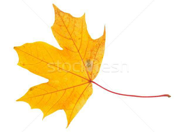 Autum maple leaf Stock photo © ajt