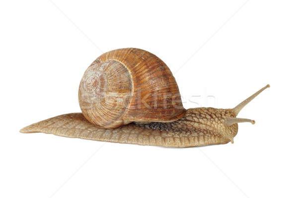 Edible snail Stock photo © ajt