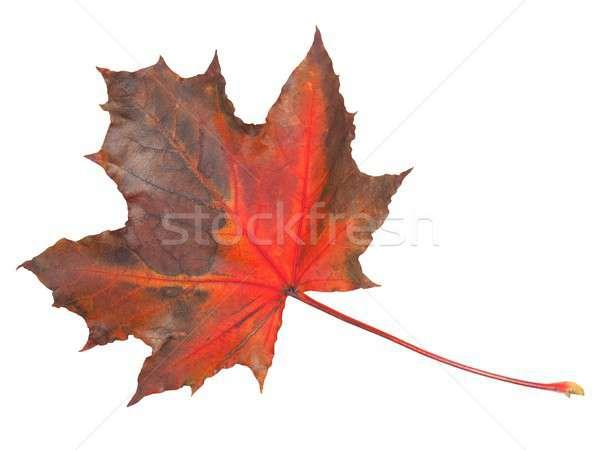 Yaprak beyaz sonbahar yalıtılmış doğa ölü Stok fotoğraf © ajt