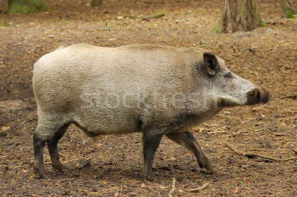 Wild Boar Stock photo © ajt