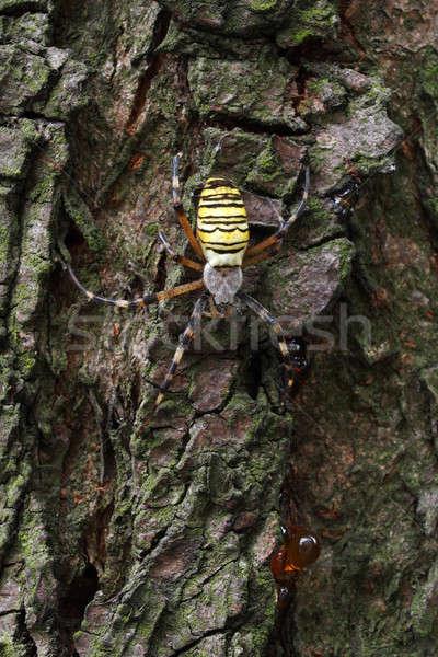 ワスプ クモ マクロ 自然 ストックフォト © ajt