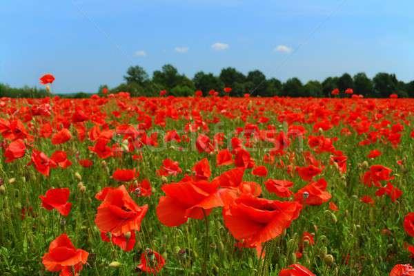 Poppies Field Stock photo © ajt