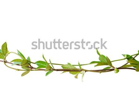 Zielone liście uruchomiony ramki odizolowany biały obraz Zdjęcia stock © akarelias