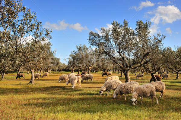 Sheep in olive tree field Stock photo © akarelias