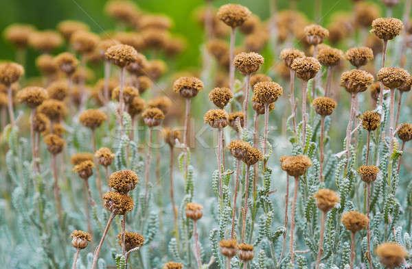 области сушат цветы выстрел низкий Сток-фото © akarelias