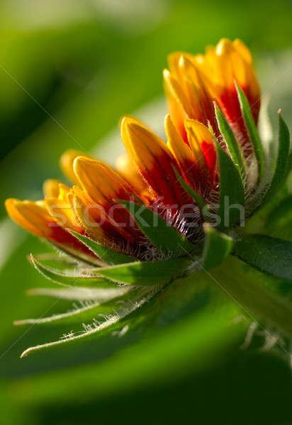изображение цветок утра солнечный свет природы красоту Сток-фото © akarelias