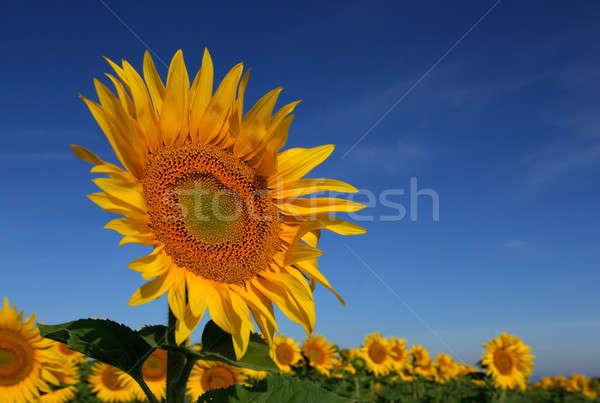 Girassol imagem em pé acima campo Foto stock © akarelias