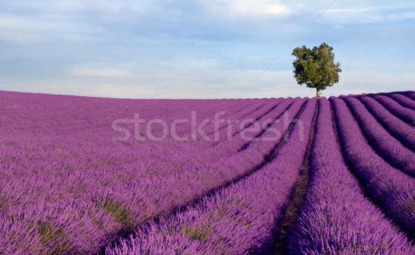 Rich lavender field with a lone tree Stock photo © akarelias
