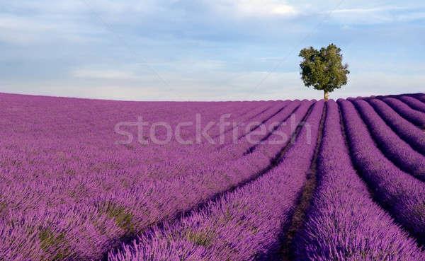 богатых дерево изображение Франция Сток-фото © akarelias
