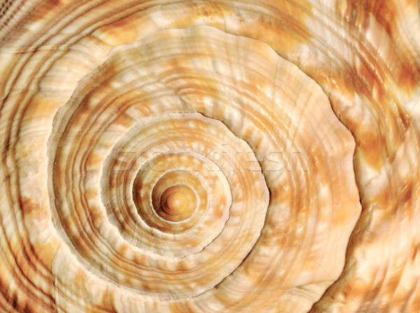 спиральных морем оболочки изображение красивой Сток-фото © akarelias