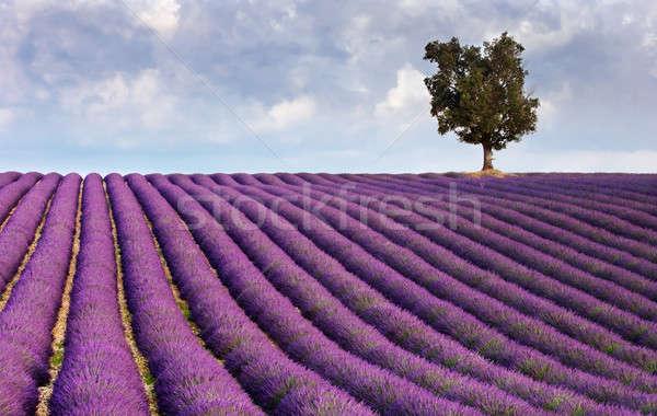Levendula mező egyedüli fa kép Franciaország szín Stock fotó © akarelias