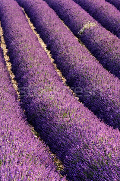 Rows of lavender Stock photo © akarelias