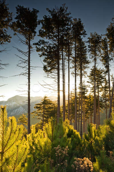 Tall pine trees at dawn Stock photo © akarelias