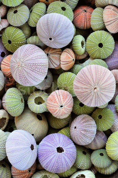 Collection of colorful sea urchin shells Stock photo © akarelias