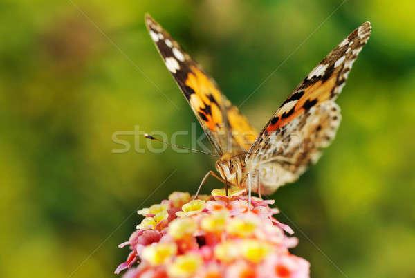 Vlinder nectar bloem macro afbeelding kleurrijk Stockfoto © akarelias
