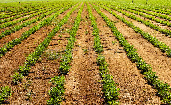 Vegetable farm Stock photo © akarelias