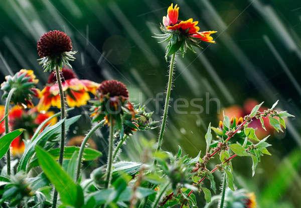 Summer rain Stock photo © akarelias