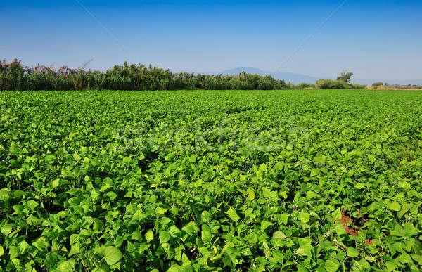 Grande feijão plantação Grécia manhã Foto stock © akarelias