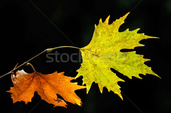 őszi levelek kép pár erdő zöld ősz Stock fotó © akarelias