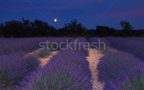 Lavender field in Provence under the moonlight Stock photo © akarelias