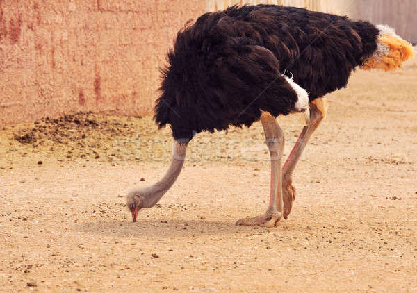 Autruche zoo environnement jambes tropicales animaux Photo stock © akarelias