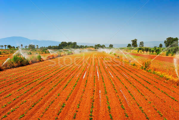 Fazenda vegetal quente verão manhã água Foto stock © akarelias