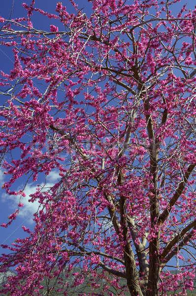 Violeta flor árvore imagem completo flores Foto stock © akarelias