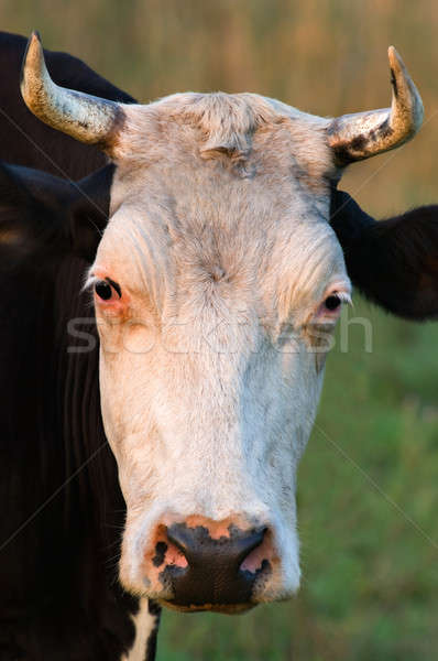 Stock photo: Cow with horns